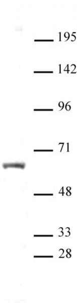 HNF4A antibody (pAb) tested by Western blot.