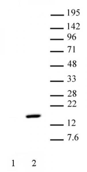 Histone H2AT120ph antibody (pAb) tested by Western blot.