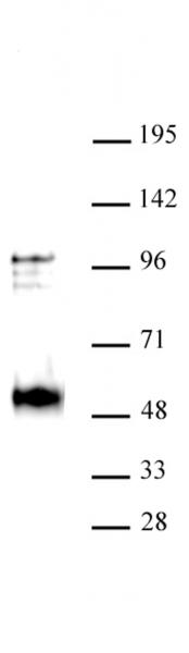 NR2F2 / COUP2 antibody (pAb) tested by Western blot.