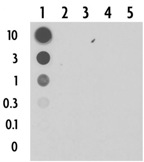5-Carboxylcytosine (5-caC) antibody (pAb) tested by dot blot analysis.