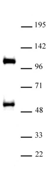 TAZ / WWTR1 antibody (pAb) tested by Western blot.