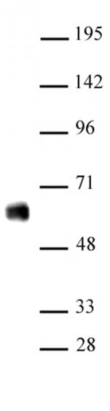 IRF-5 antibody (pAb) tested by Western blot.