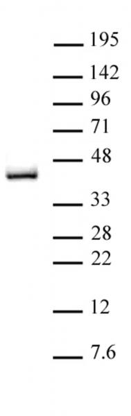 IRF-2 antibody (pAb) tested by Western blot.