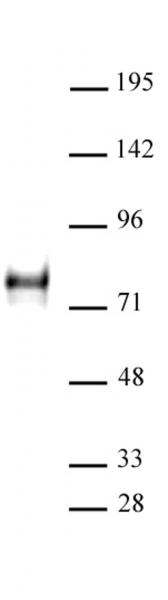YAP1 antibody (pAb) tested by Western blot.