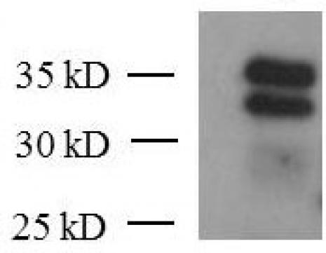 KLF6 antibody (mAb) tested by Western blot.