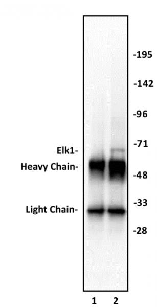 Elk-1 antibody (pAb) tested by immunoprecipitation.