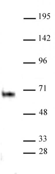 Elk-1 antibody (pAb) tested by Western blot.