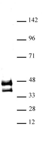 JunD antibody (pAb) tested by Western blot.