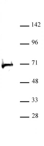 RBBP5 antibody (pAb) tested by Western blot.