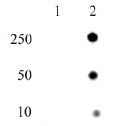 Histone H4H18ph antibody (pAb) tested by dot blot analysis.