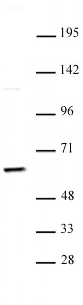 PKM2 antibody (pAb) tested by Western blot.