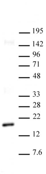Histone H3K27me2 antibody (mAb) tested by Western blot.