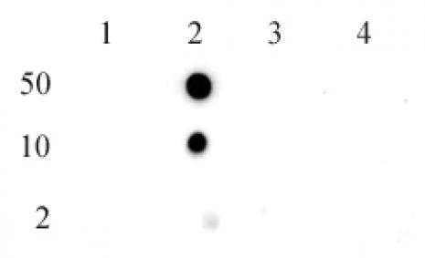 Histone H2BK5me1 antibody (pAb) tested by dot blot analysis.