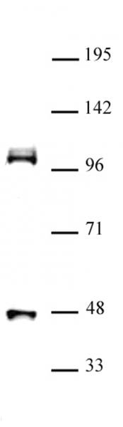 CUL4B antibody (pAb) tested by Western blot.