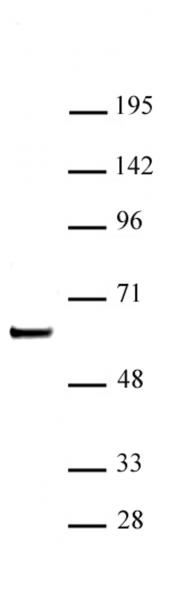 SETD7 / SET7 antibody (pAb) tested by Western blot.