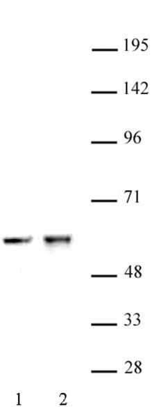 CDK8 antibody (pAb) tested by Western blot.