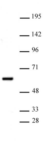 PRMT2 antibody (pAb) tested by Western blot.