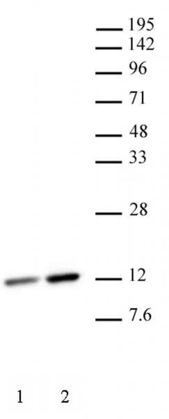 Histone H4K12ac antibody (mAb) tested by Western blot.