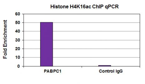 Histone H4K16ac antibody (mAb) tested by ChIP.