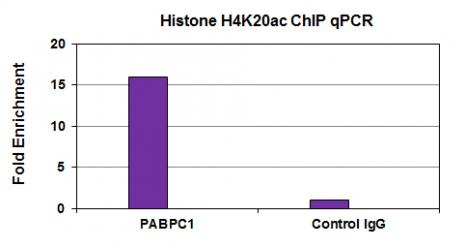 Histone H4K20ac antibody (mAb) tested by ChIP.