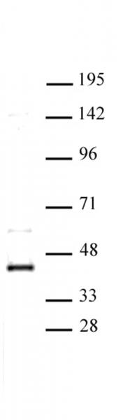 CDK9 antibody (pAb) tested by Western blot.