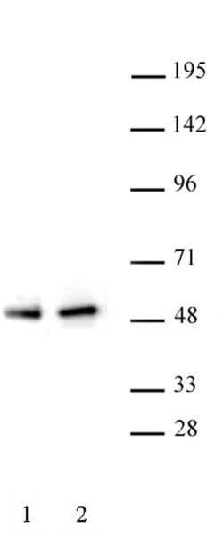 PAX5 antibody (pAb) tested by Western blot.
