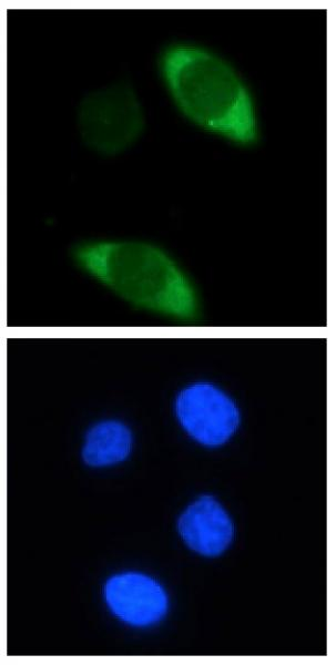 Cas9 antibody (mAb) tested by immunofluorescence.