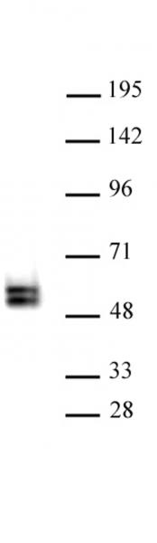 TCF7 antibody (pAb) tested by Western blot.