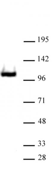 RB1 antibody (pAb) tested by Western blot.
