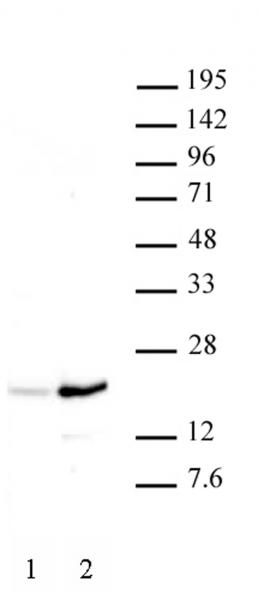 Histone H3K37ac antibody (pAb) tested by Western blot.