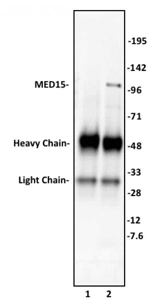 MED15 antibody (pAb) tested by immunoprecipitation.