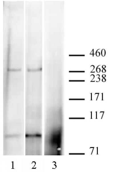 CABIN1 antibody (pAb) tested by Western blot.