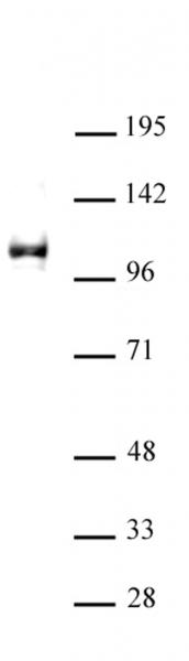 KDM1A antibody (pAb) tested by Western blot.