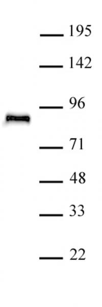TCF4 antibody (pAb) tested by Western blot.
