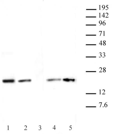 Histone H3.1 / 3.2 antibody (mAb) tested by Western blot.