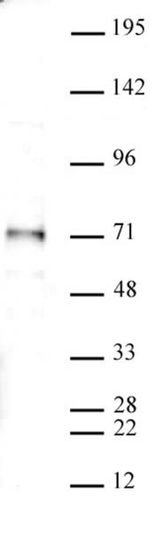 SMAD4 antibody (pAb) tested by Western blot.