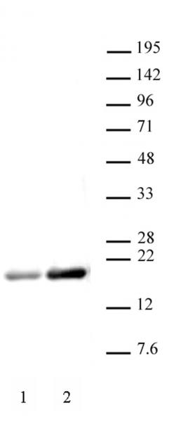 Histone H3ac (pan-acetyl) antibody (pAb) tested by Western blot.