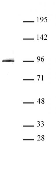 STAT3 antibody (pAb) tested by Western blot.