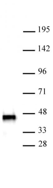 SMARCB1 antibody (mAb) tested by Western blot.