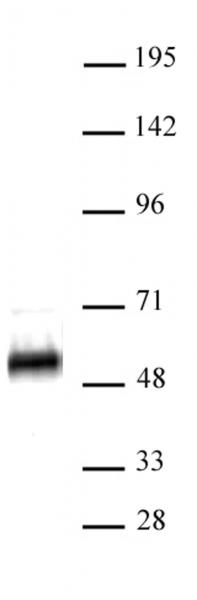 p53 antibody (pAb) tested by Western blot.