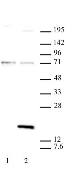 Histone H3.3S31ph antibody (mAb) tested by Western blot.