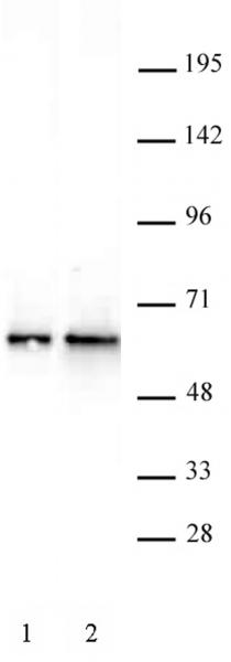 DMAP1 antibody (pAb) tested by Western blot.