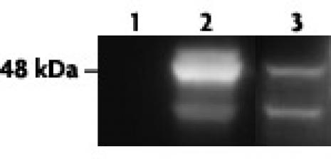AM-Tag antibody (pAb) tested by Western blot.