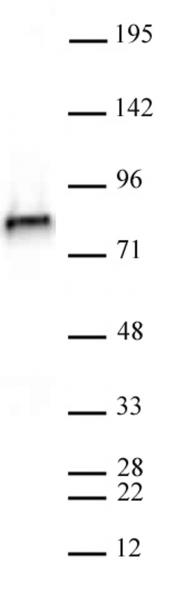 NCAPH2 antibody (mAb) tested by Western blot.