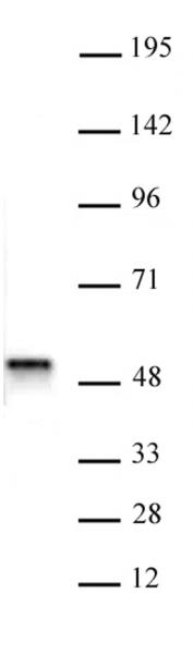 ACTL6B antibody (pAb) tested by Western blot.