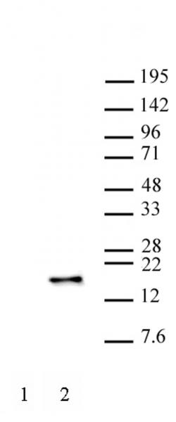 Histone H3S28ph antibody (mAb) tested by Western blot.