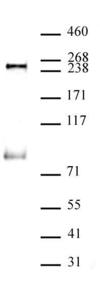 RNA pol II CTD phospho Ser5 antibody (mAb) tested by Western blot.