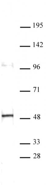 Aurora A antibody (mAb) tested by Western blot.