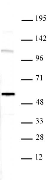 RUVBL1 antibody (pAb) tested by Western blot.