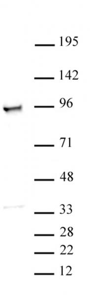 MCM3 antibody (pAb) tested by Western blot.